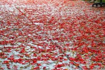 road with gulmohar petals